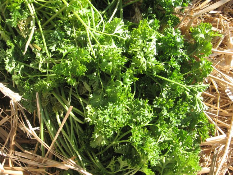 Moss Curled Parsley plant