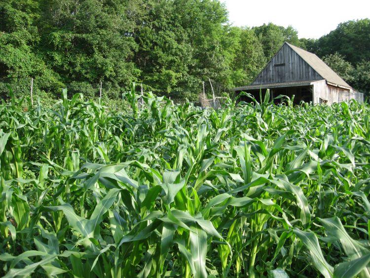 Mid July Flint Corn 2015