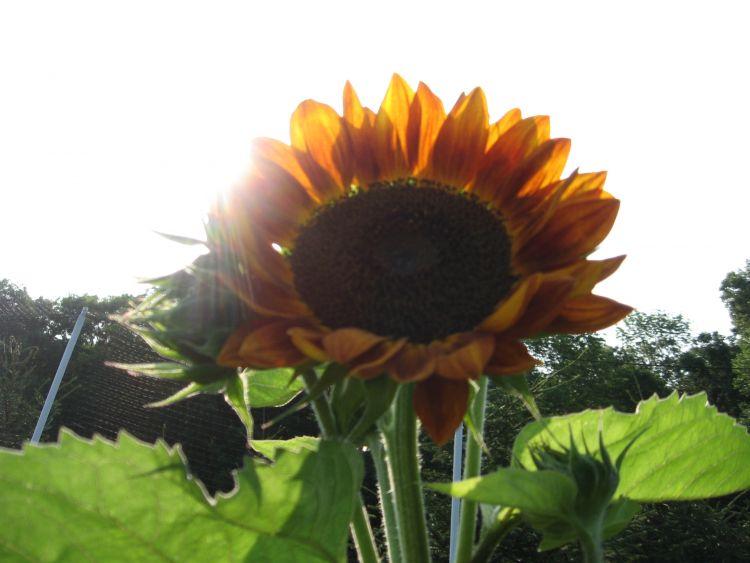 Volunteer Sun Flowers!