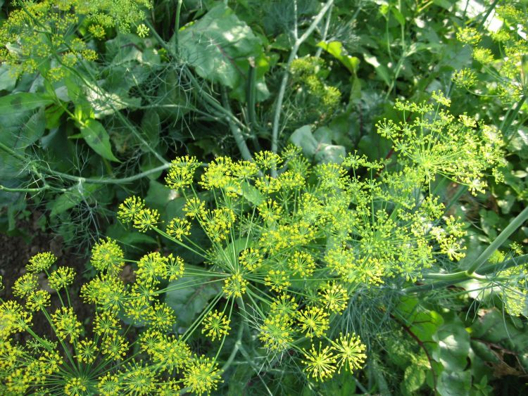 Dill in our Garden 2015