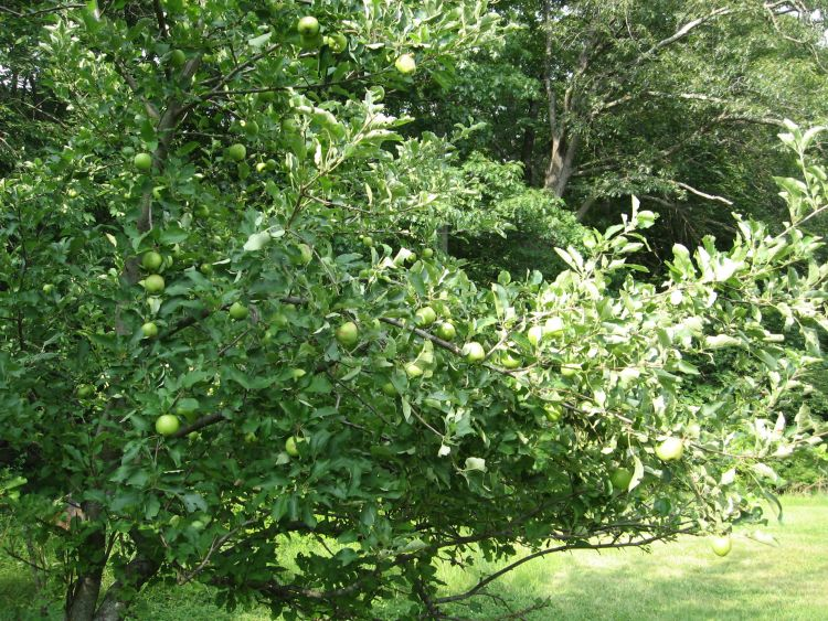 Dessert Apple tree