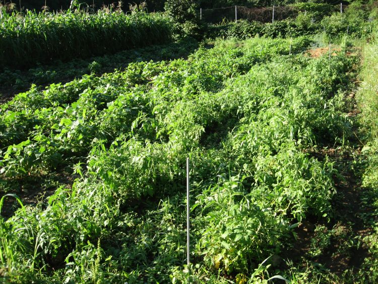 Tomato Plants 2015