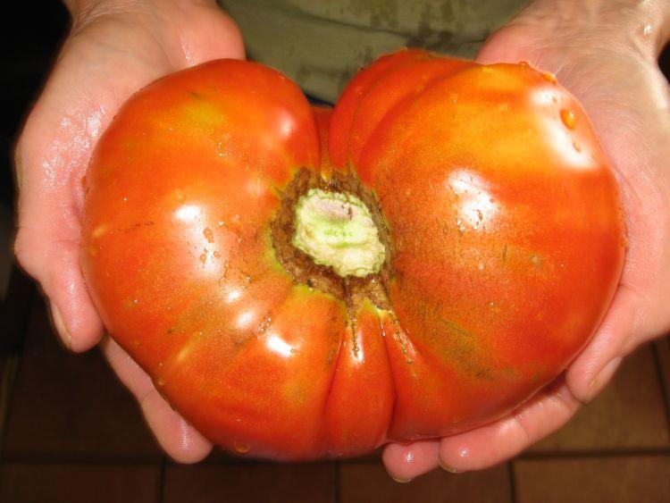 A Giant 2015 Tomato