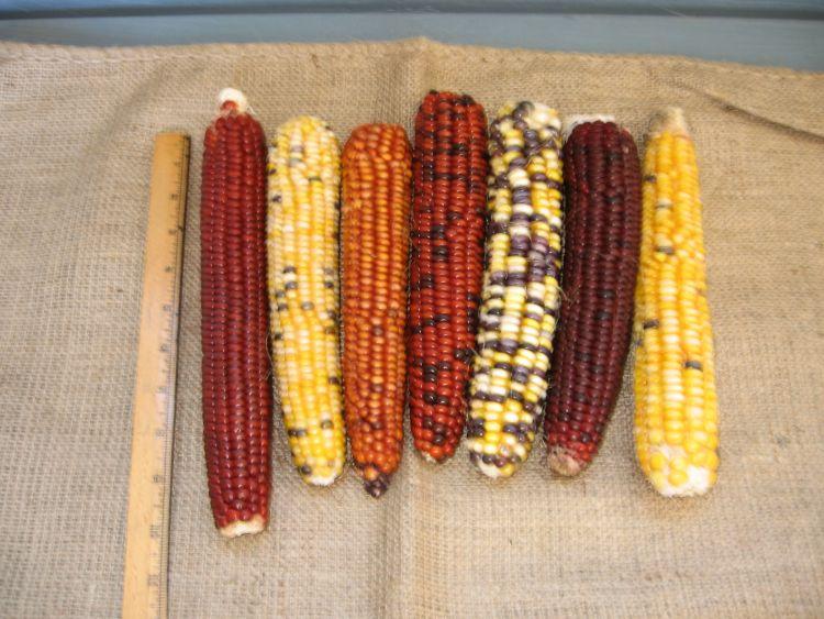 Our Flint Indian Corn 2015