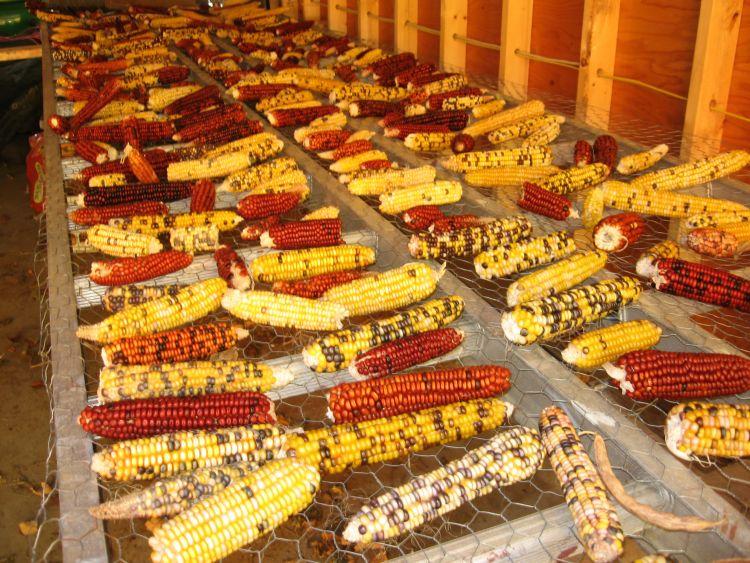Corn Drying rack 2015