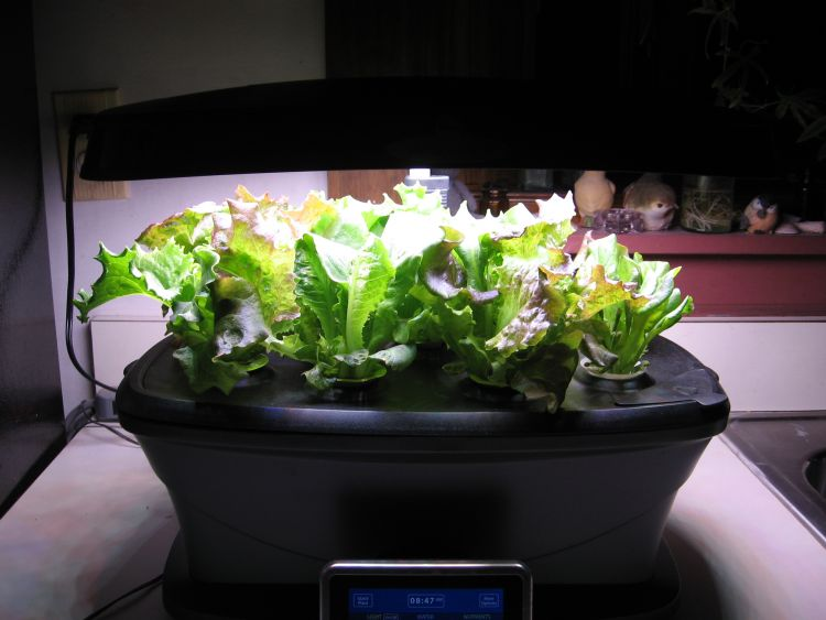 Winter Lettuce Salads!