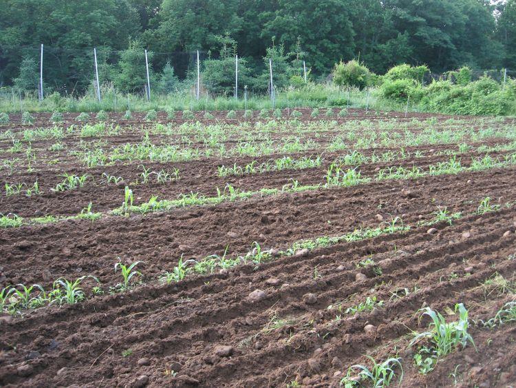 June 2016 Garden Flint Corn