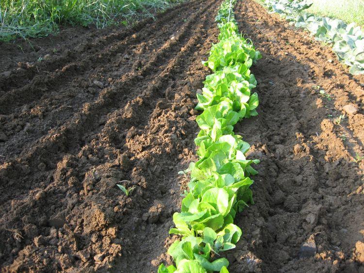 June 2016 Garden Lettuce