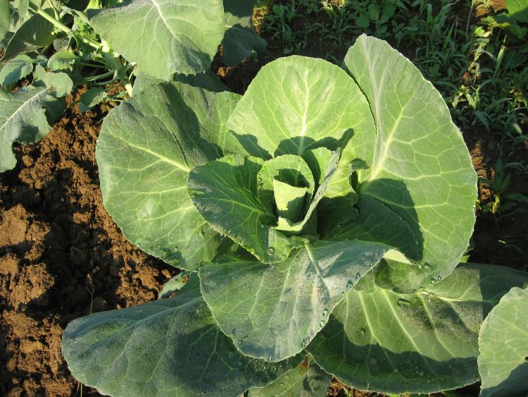 2016 June Cabbage Plant