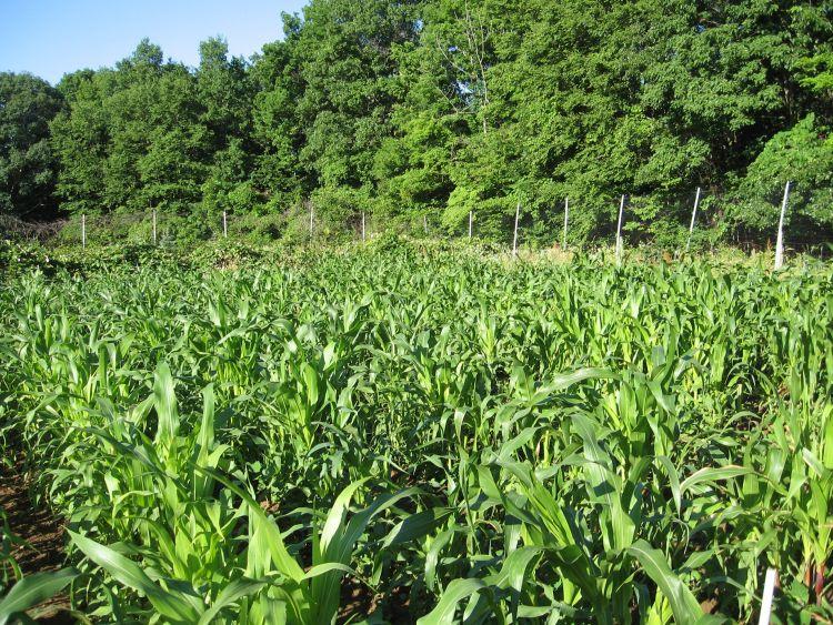 Early July brings taller corn