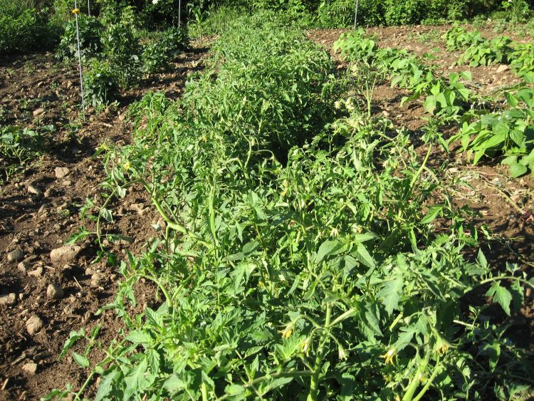 Early July Tomato Plants growing