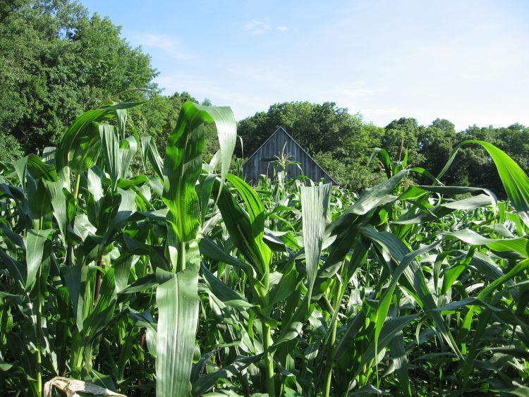 Towering corn stalks 2016
