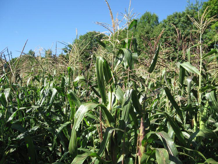 Towering Corn!
