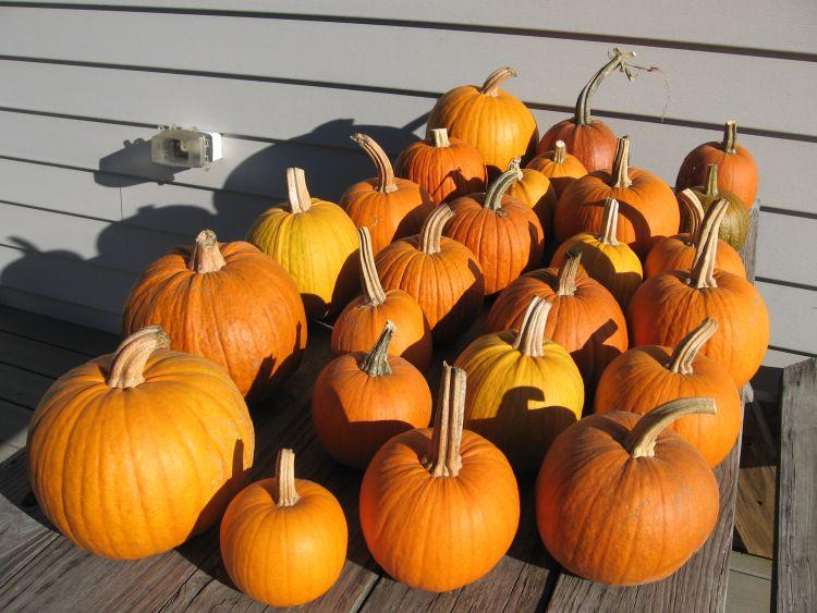 Pumpkin Harvest 2016