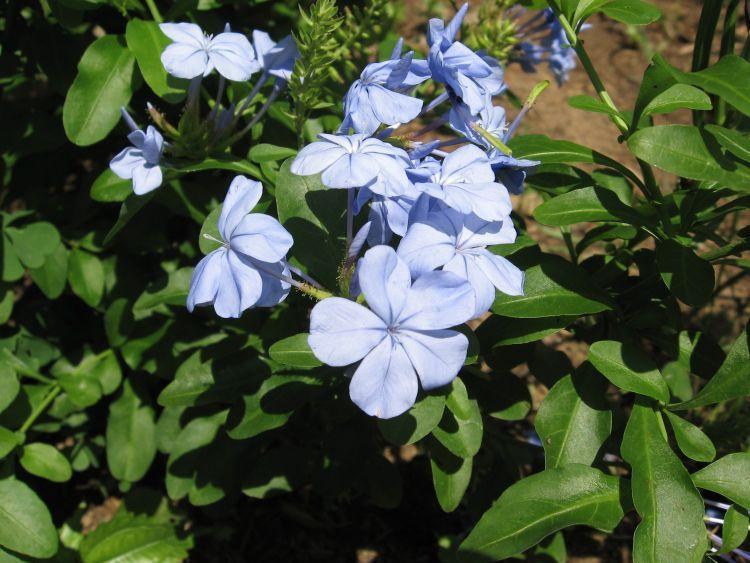 L. Plumbago 'Imperial Blue'