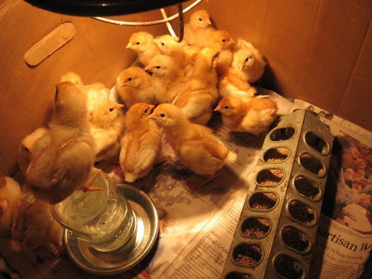Young Chicks 1
