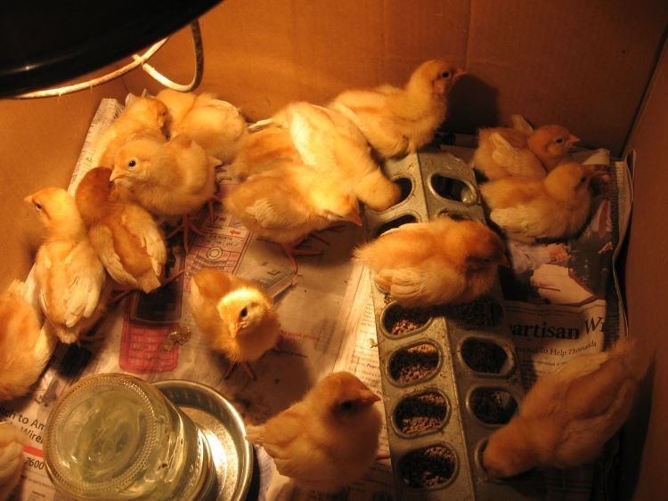 Young Chicks 3