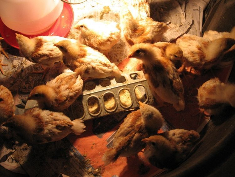 Young Chicks 4