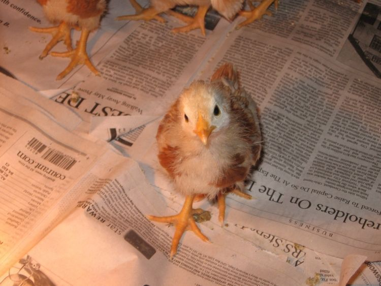 Young Chicks 7