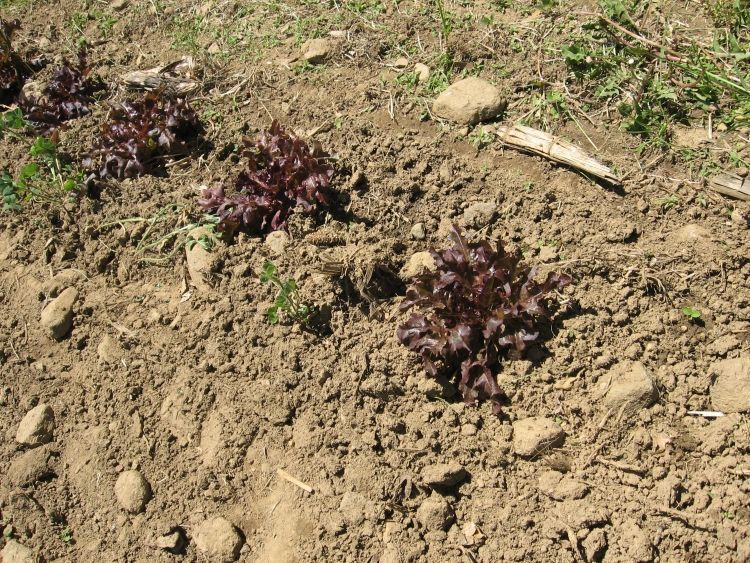 Red lettuce plants