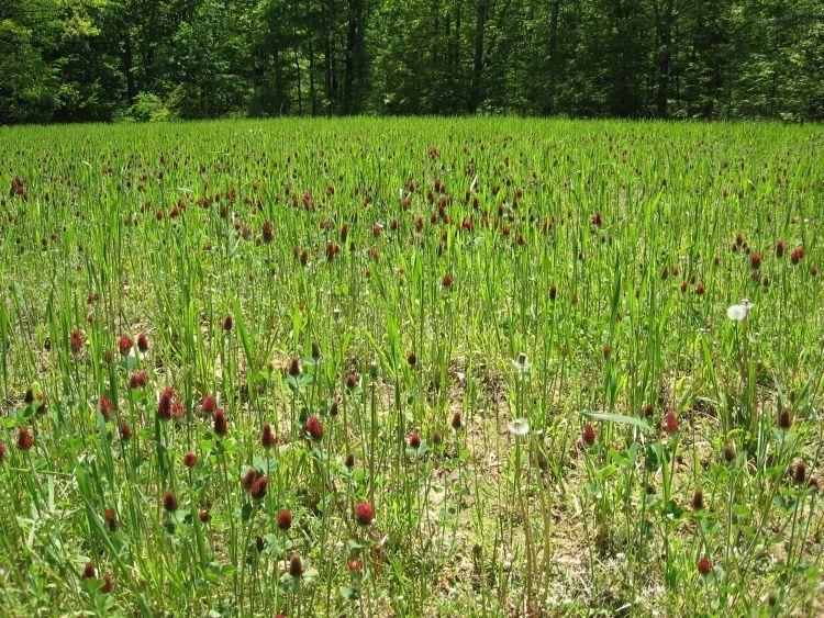 Crimson Clover Cover crop 1