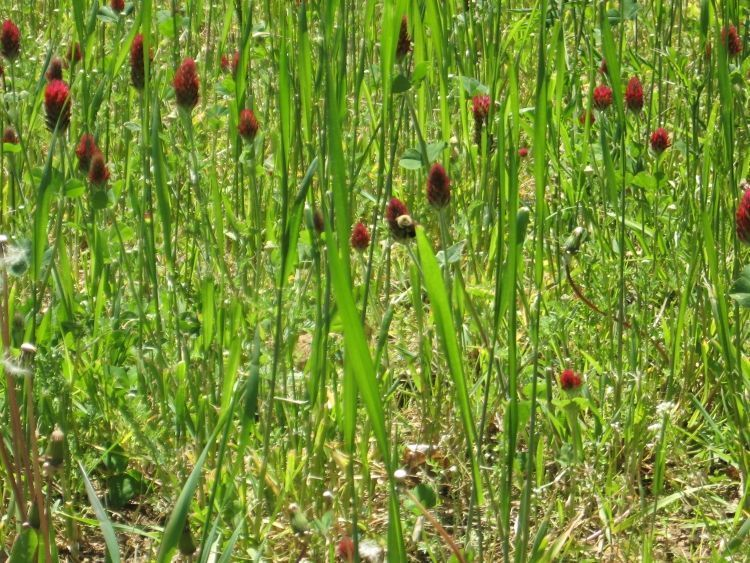 Crimson Clover cover crop 2