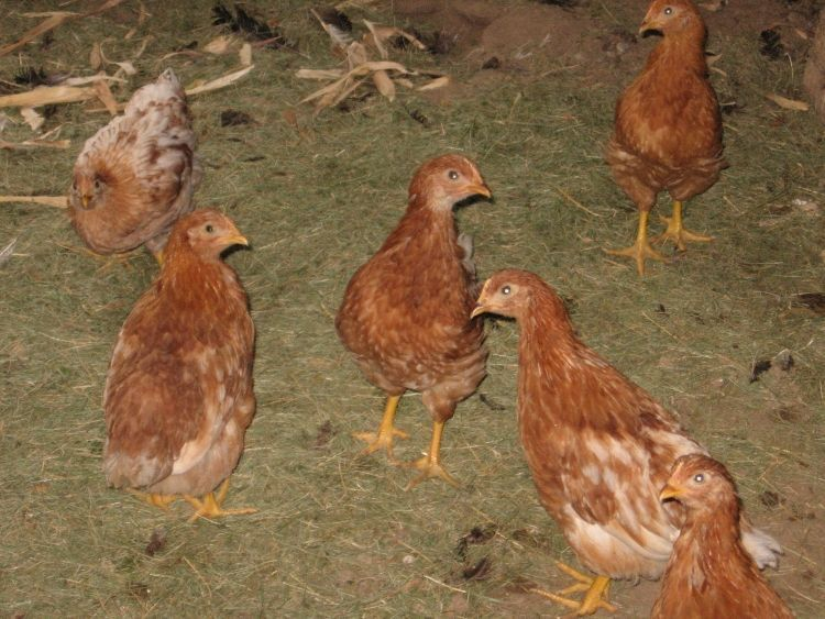 Young Chicks 10