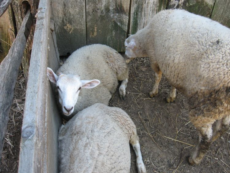 Sheep, staying close together