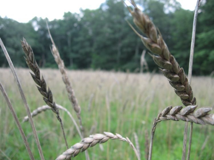 Maturing Grain!