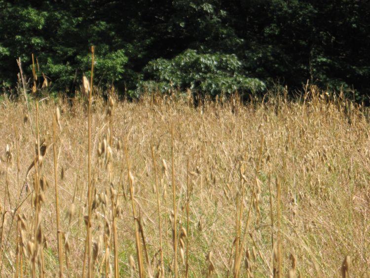 Grain plot Mature Hulless Oats