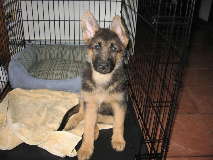 Guard dog in training