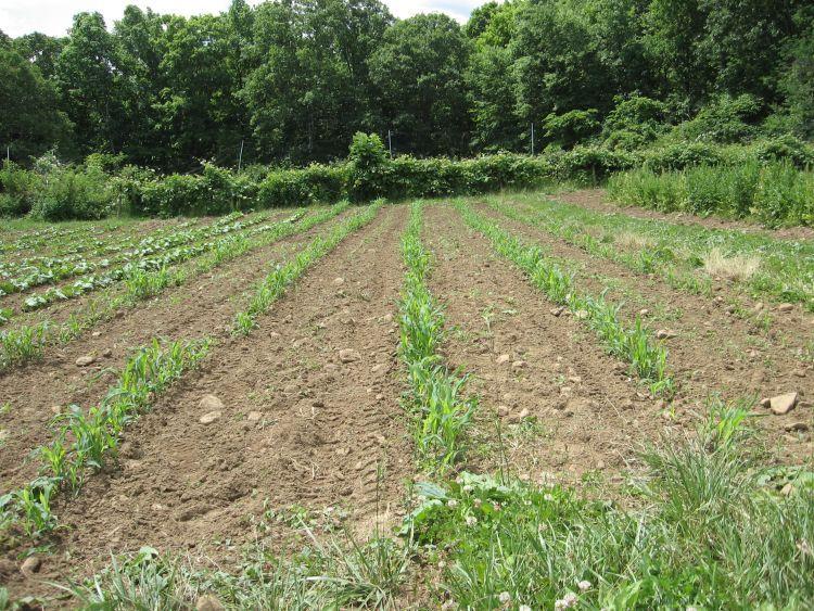 Corn mid June 2010