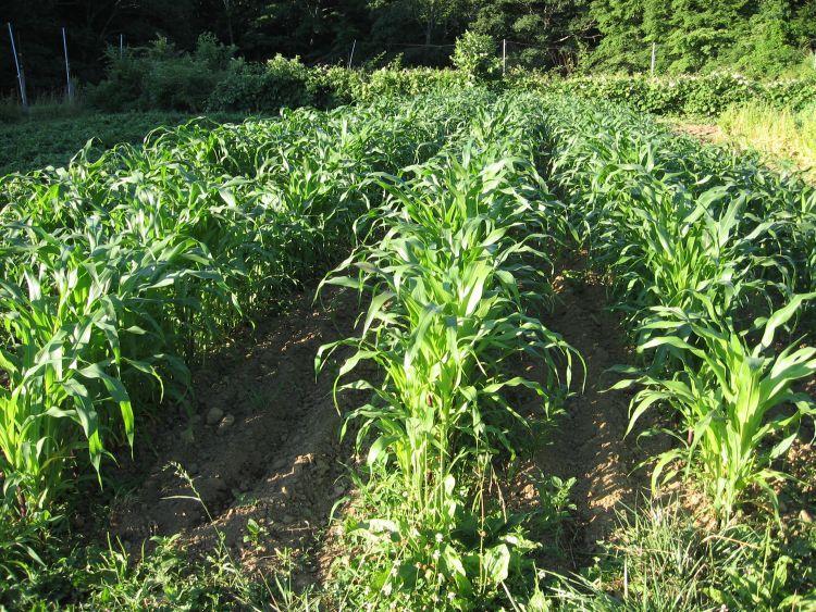 Rows of Flint Corn