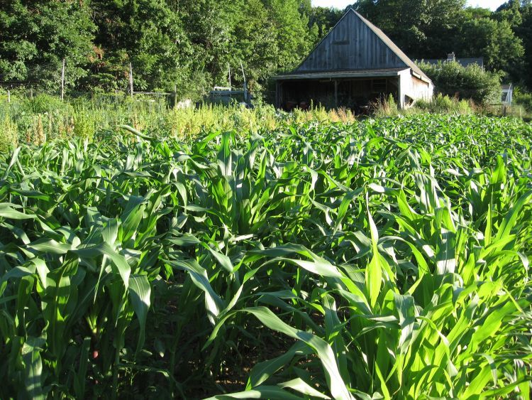 Flint Indian Corn