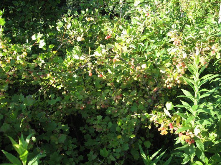 Goose Berries in the sun!