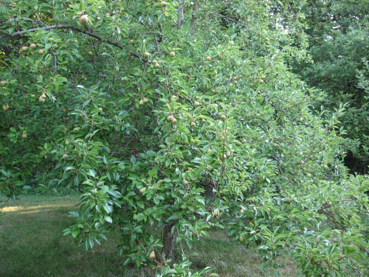 This pear tree is really loaded!