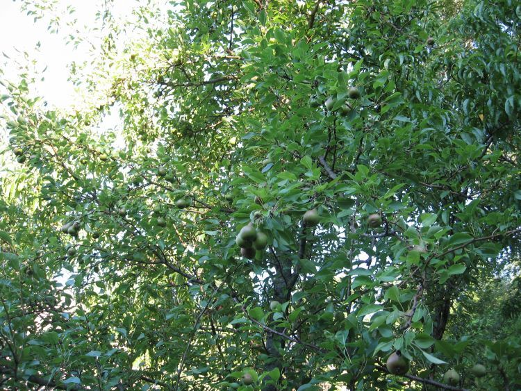 Pears on another tree