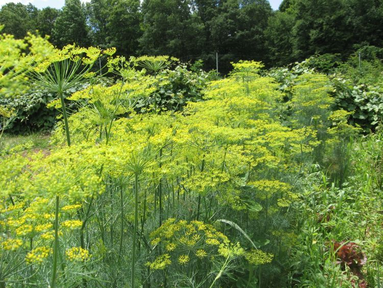 Long row of Dill in flower stage