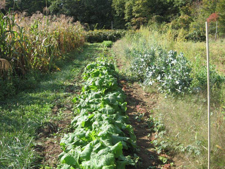 2nd planting,Turnips