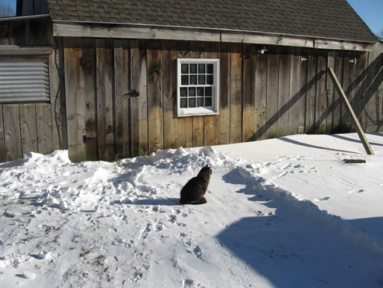 Barn cat on Winter patrol