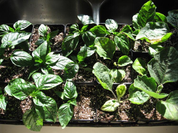 8 week old Pepper and Eggplant