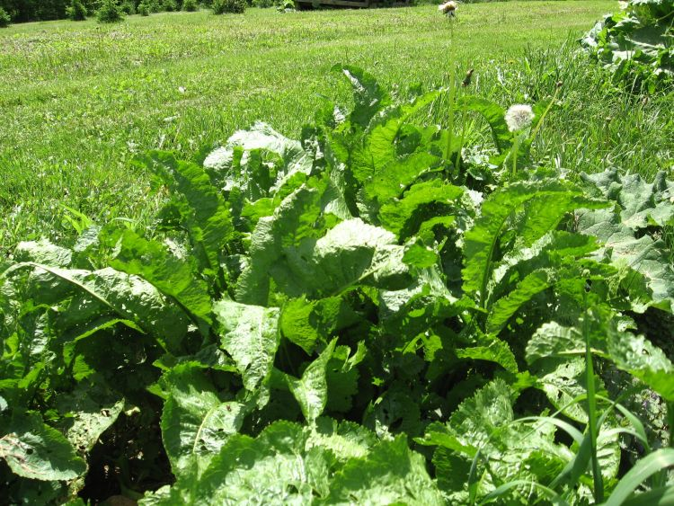 My old bed of Horseradish