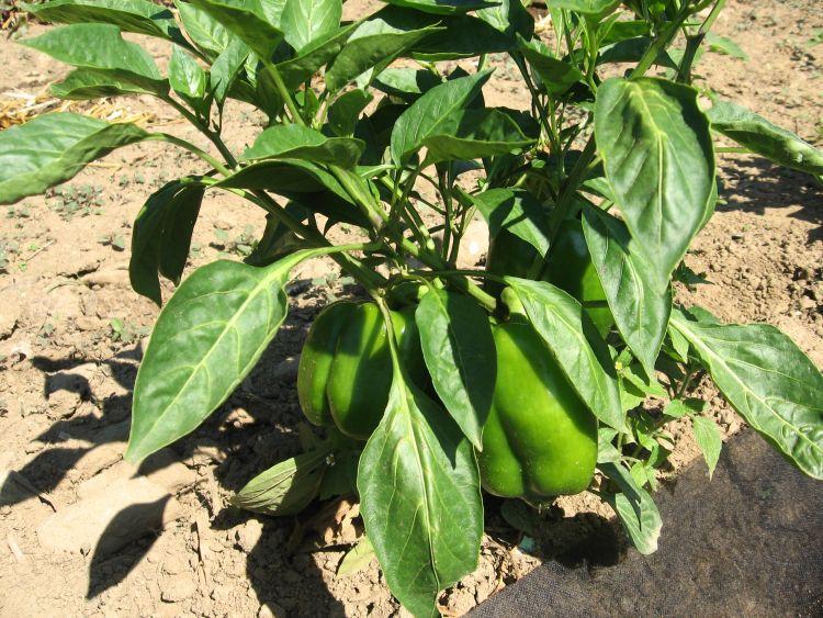 California Wonder Pepper Plant