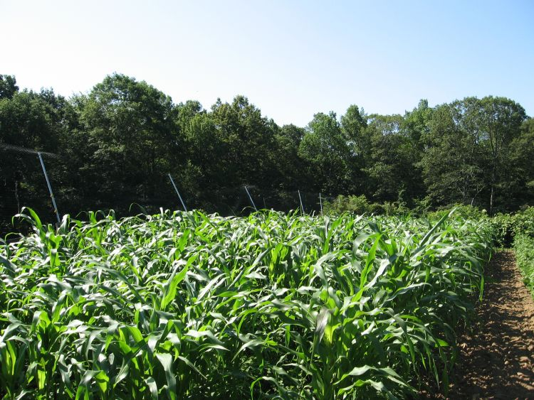Connecticut Corn in Mid July