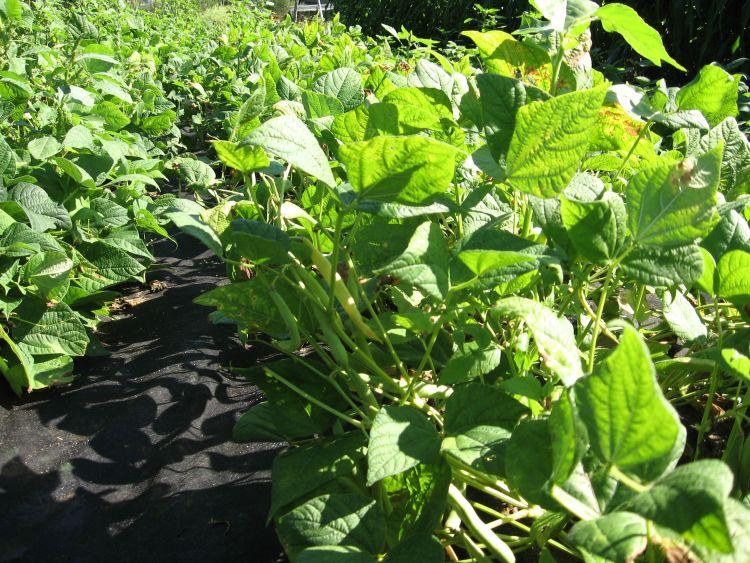 Bean plants in Midsummer
