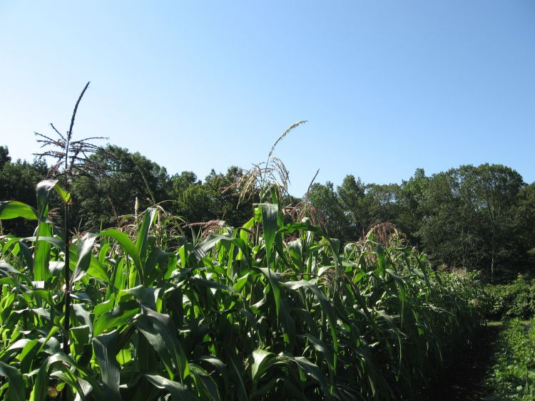 Corn at our isolated farm