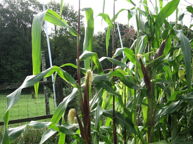 Corn after the Tassel stage