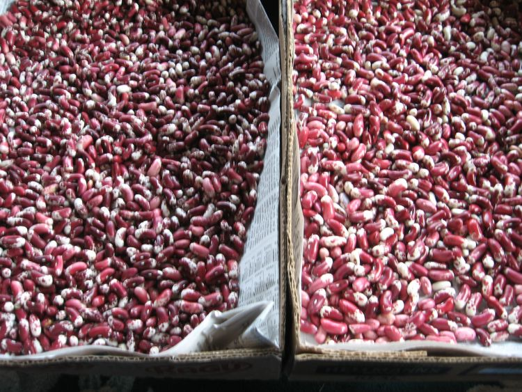 Just harvested, Dry Beans