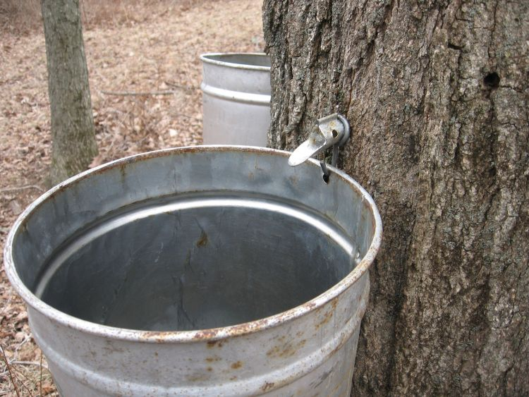 Large Maples take several taps