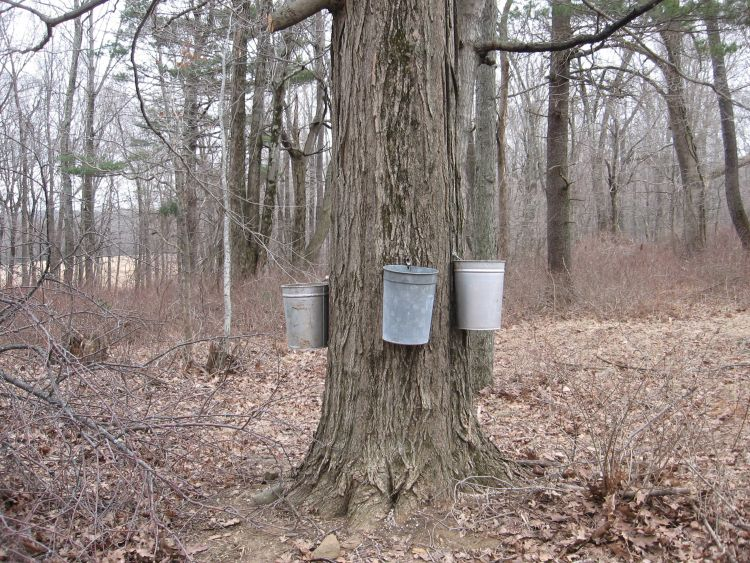 Another good sized Maple tree